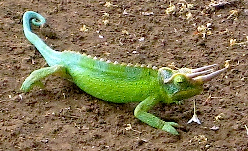 Lizard from the Amy B.H. Greenwell Ethnobotanical Garden (HI)