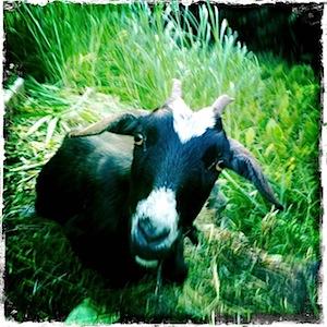 jason poole, accidental hawaiian crooner, molokai, halawa valley, urban aloha, goat, goat house, goat enclosure,